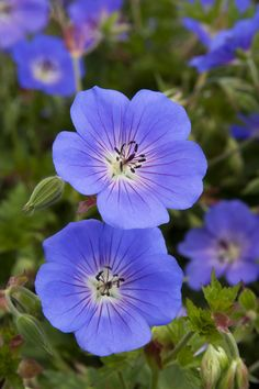 "Rozanne Geranium This is a definite ""go-to"" plant for us. Folks delight in it's easy care and seemingly endless blooms. Cranesbill Geranium, Hardy Geranium, Blue Geranium, Hardy Perennials, Flowers Perennials, Growing Flowers, Planting Flowers, Flower Gardening, Flower Garden Plans"
