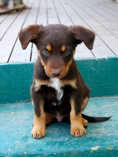 Australian kelpie, yet to be named. Cute Puppies, Cute Dogs, Dogs And Puppies, Doggies, Australian Shepherds, West Highland Terrier, Animals And Pets, Baby Animals, Cute Animals