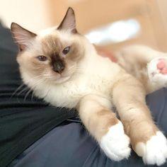 #petclubsa #ラグドール #ラグドール部 #シールポイントミテッド #シールポイント #ラグドール子猫 #動画編集 #ねこ #猫  #子猫 #青い目の猫 #猫動画 #ネコ動画 #ねこ部 #ニャンコ #ねこのいる暮らし #ニャンスタグラム #ねこ好きさんと繋がりたい #catstagram #catsfeaturesclub #ragdoll #catsofinstagram #ragdollcat #ragdollkitten #catstagram #cat #catkitten Cute Animals, Club, Pets, Collection, Pretty Animals, Cutest Animals, Cute Funny Animals, Adorable Animals, Animals And Pets
