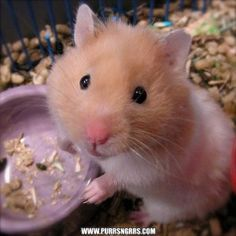 Meet Hamsters, an adopted Hamster, from Tiny Paws Rescue & Sanctuary in Warren, MI on Petfinder. Learn more about Hamsters today. Baby Hamster, Teddy Hamster, Hamster Live, Hamster Toys, Hamster Treats, Hamster Eating, Cute Small Animals, Funny Animals, Hamster Wallpaper