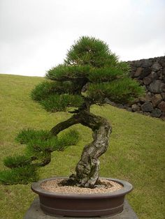 pine bonsai by stone sculpture, via Flickr