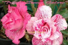Adenium 'Triple Sweet Galore' 5 Seeds