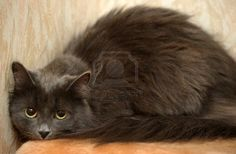 Nibelung  Russian long-haired cat  Stock Photo - 15399417
