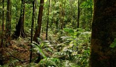 The ancient ferns of Mossman Gorge in the Daintree. Travel Bugs, Heartland, Countries Of The World, Ferns, To Go, The Incredibles, Australia, Landscape, Country