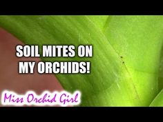 (28) Soil Mites on my orchids - Worrying or not? - YouTube No Worries, Orchids, Orchid Repotting, Roots, Youtube, Youtubers, Youtube Movies, Orchid