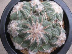 花籠群生:Aztekium ritteri
