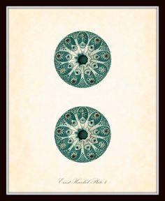 Vintage Ernst Haeckel Sea Urchin Sea Life Series Plate 4 - Natural History Art Print 8 x 10 - Sea Plants - Fantasy Sea Life Antique Illustration, Plant Illustration, Ernst Haeckel Art, Natural Form Art, Microscopic Photography, Sea Plants, Historia Natural, Natural History, Textures Patterns