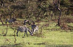 Zebras @ Lake Mburo National Park in #Uganda. For a #Mburo travel guide visit www.safaribookings.com/mburo. With travel tips, best time to visit, reviews, photos and more!
