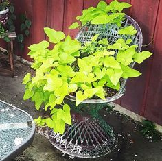 How I put an old plastic chair to work #sweetpotato #vine #vines #containergardening #containergarden #green #garden #gardening #flowerstagram #flower #flowers #flowerporn #happyplace #like #instaflower #gardens