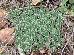 la geometria sagrada en la naturaleza. la forma de la flor de la vida