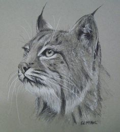 """""""Eye on Something"""" by Ed McNeil North American Bobcat Charcoal on Toned paper 9x12"""