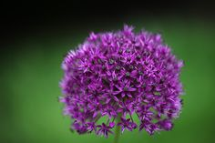 Buy Dutch garlic bulbs Allium hollandicum 'Purple Sensation': Delivery by Crocus.co.uk