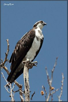 Osprey. I saw one of these for the first time on our last trip to the Adirondacks.
