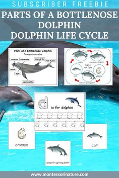 Join and download Parts of a Bottlenose Dolphin poster and label cards Dolphin Life Cycle poster and 3 part cards Pre-writing activities Blackline masters. #printables #preschool Dolphin Teeth, Cycle Parts, Bottlenose Dolphin, Pre Writing, Writing Activities, Life Cycles, Pre School, Free Printables, Cycling