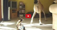 This Brought Me To Tears!!! A Great Dane And Kitten Share A Birthday And A Lifetime Of Love.