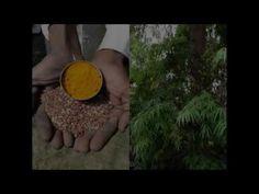 Medicinal Rice P5N Formulations for Spathoglottis Excess: Pankaj Oudhia'...