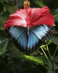 Morpho butterfly | by Ben Vanbergen on Flickr
