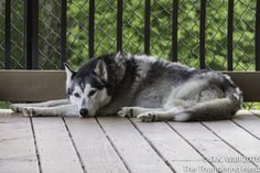 Hu-Dad is accusing somepup of interrupting sleep. #dog #siberianhusky #husky