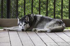 Hu-Dad is accusing somepup of interrupting sleep. #dog #siberianhusky #husky