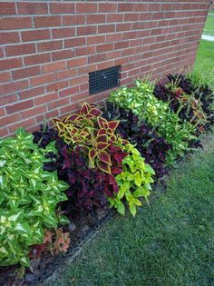 Border of coleus