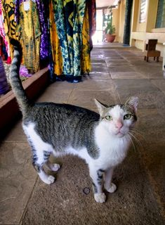 I photographed several cats in the Senegambia Beach Hotel in Kololi (Serrekunda), The Gambia. This is one of them. The others can be found at http://www.traveling-cats.com/2015/01/cats-from-kololi-gambia.html