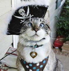 Aye-aye captn!: Spangles, the crossed-eyes kitty, became an internet sensation after his owner, 25-year-old Mary Buchanan of South Carolina, regularly posted photos of the three-year-old cat in a variety of different costumes to Facebook