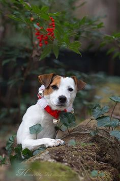 """So, who wants to give me a kiss?"" Jack Russell Terrier by Heavenly Pet Photography #dog #holiday #photo"