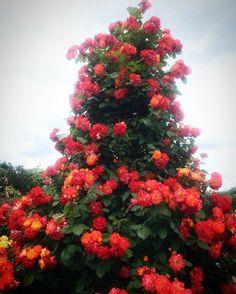 #Roses are #red #yellow #orange... #京成バラ園 #薔薇 #バラ #ふれ太鼓 #オベリスク #はなまっぷ薔薇2016 #flowerstagram #flowergram #rosegarden #flowergarden #rose #flower #flowers #obelisque #obelix  #obelisk
