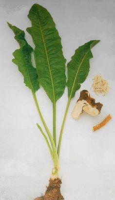 Bylina mládí nebo také český Žen-šen .... Korn, Mother Nature, Pesto, Aloe, Life Is Good, Plant Leaves, The Cure, Spices, Herbs