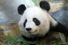 2014 01 16 Zoo Atlanta - Lun Lun, Mei Lun & Mei Huan 016   Flickr