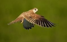Hovering Nankeen Kestrel hovering in late afternoon light.by Ofer Levy on 500px