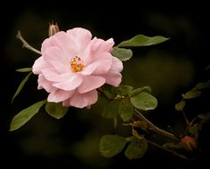 Wild Rose (Explore) (by Coombes-Merton)