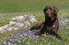Aromatherapy For Dogs: How & When To Use Essential Oils With Your Dog Dog Safe Medicine, Dog Calming Spray, Aromatherapy For Dogs, Dog Illnesses, Labrador Retriever, Essential Oils Dogs, Coconut Oil For Dogs, Most Popular Dog Breeds, Dog Safety