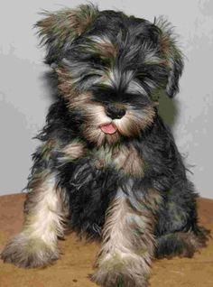 Schnauzer Puppy