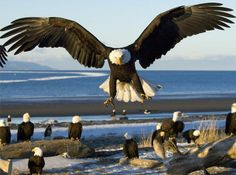 Love this photo of eagles gathering in Alaska