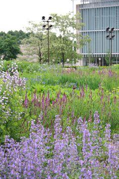 Oudolf ~ Lurie Garden, Millennium Park, Chicago  _/\/\/\/\/\_   early summer