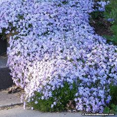 Creeping Phlox Emerald Blue, Phlox subulata - Spring Perennials from American Meadows Steep Hillside Landscaping, Natural Landscaping, Small Backyard Landscaping, Landscaping Ideas, Backyard Ideas, Ground Cover Plants, Blue Plants, Bamboo Plants, Gardens