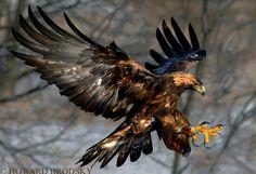 "500px / Photo ""Golden Eagle ….James Bay Ontario, Canada."" by Howard Brodsky"