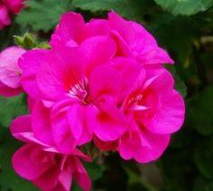 Claves para que las flores de los geranios duren más | EROSKI CONSUMER