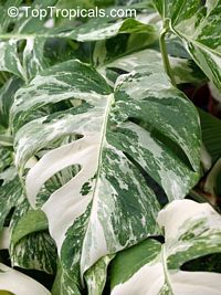 Full size picture of Variegated Split-leaf Philodendron ...