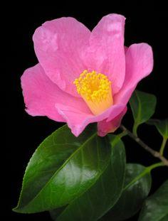 Wonderful Flowers, Silk Flowers, Beautiful Flowers, Blossom Garden, Blossom Flower, Flower Games, Indoor Flowering Plants, Pink Plant, Flower Power