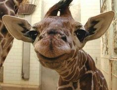 Funny pictures about Baby giraffe is pleased. Oh, and cool pics about Baby giraffe is pleased. Also, Baby giraffe is pleased photos. Smiling Animals, Happy Animals, Cute Baby Animals, Funny Animals, Awkward Animals, Zoo Animals, Wild Animals, Laughing Animals, Smiling Faces