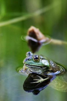 I photographed this lone frog waiting for it's dinner in a quiet pond in Deer Lake Park, Burnaby BC (Kathleen Intile) Reptiles And Amphibians, Mammals, Animals Beautiful, Cute Animals, On Golden Pond, Funny Frogs, Pond Life, Lily Pond, Lake Park