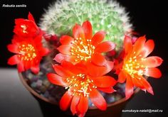 Rebutia senilis (красные цветки) senilis