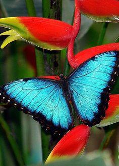 Blue Morpho Butterfly by Maria Gonzalez