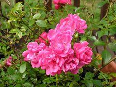 Роза миниатюрная (Rosa miniature)