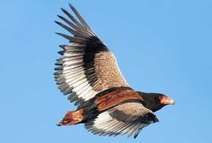 Bateleur Eagle. Richard Miller  Bateleur Eagles spend 8-9 hours each day in the air looking for food. Their diet includes antelope, mice, birds, snakes, carrion, lizards and especially road kills.