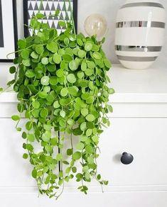Best Indoor Hanging Plants, Plants For Hanging Baskets, Outdoor Plants, Indoor Outdoor, Potted Plants, Shade Plants, Tomato Plants, Window Plants, Silk Plants