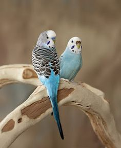 Budgerigars are naturally green and yellow with black, scalloped markings on the nape, back, and wings, but have been bred in captivity with colouring in blues, whites, and yellows, greys, and even with small crests. Budgerigars are popular pets around the world due to their small size, low cost, ability to mimic human speech, and playful nature.