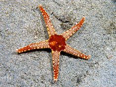 Starfish - Wikipedia